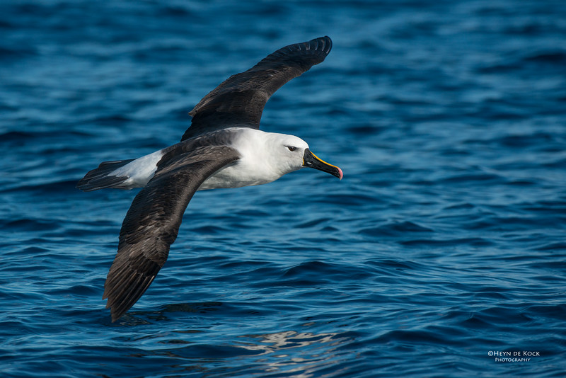 Indian Yellow-nosed Albatross, Wollongong Pelagic, NSW, Jul 2014-1.jpg