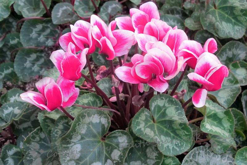 Pretty in Pink - Judith Sparhawk