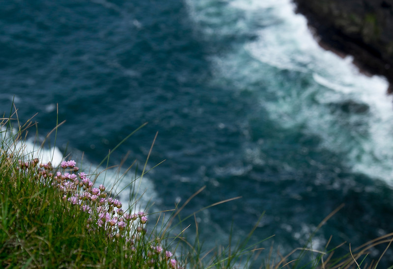 Flowers on the Cliffs of Moher.