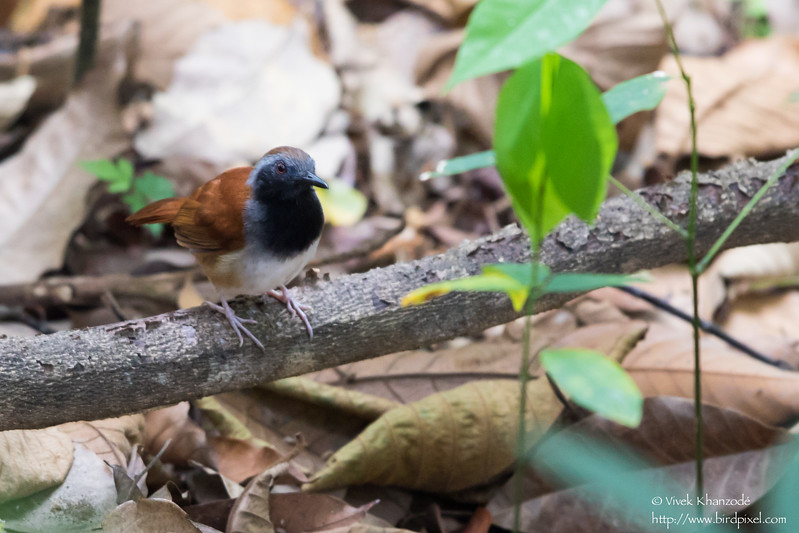 White-bellied Antbird - Male - Asa Wright Nature Center, Trinidad