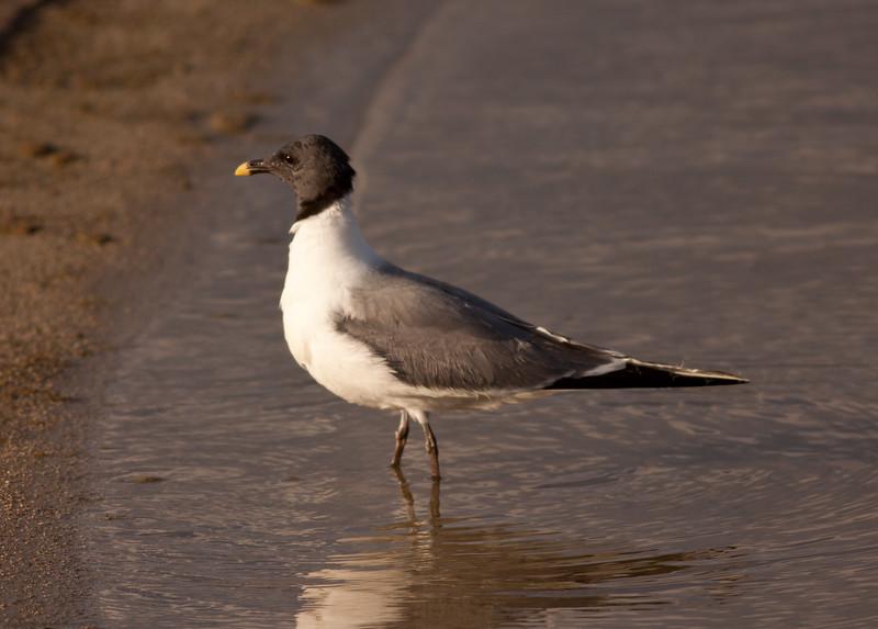 Sabine's Gull Owens Lake 2009 09 19-1.CR2
