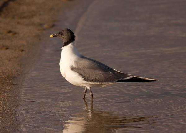 Sabine's Gull Xema sabini