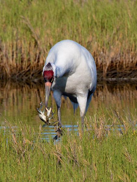 Whooping Crane with a Blue Crab, Aransas Natl. Wildlife Refuge