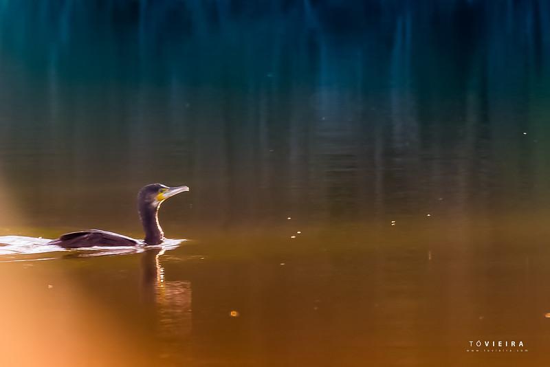 Corvo marinho - Quinta da Boavista