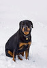 Good looking rottweiler sitting in the snow. Photography fine art photo prints print photos photograph photographs image images artwork.