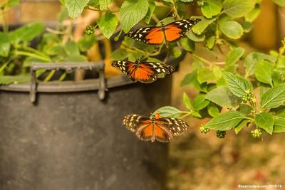 Butterflies in Flight 2018 - Set 3