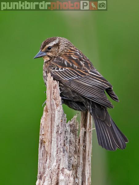 Red-winged Blackbird female (Agelaius phoeniceus)