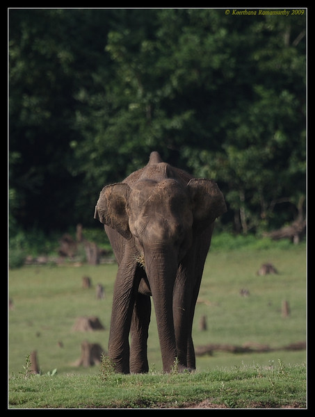 Baby Elephant,  Kabini, Mysore, Karnataka, India, June 2009