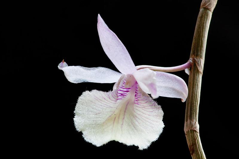 Dendrobium primulinum