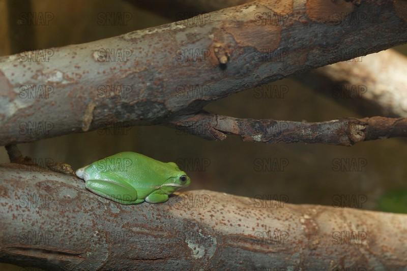 Treefrog, Green