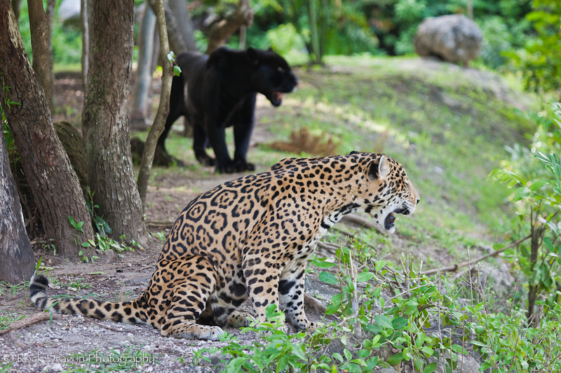 A normal Jaguar and a Black Jaguar (Panther) at Xcaret Eco-Park in Mexico.