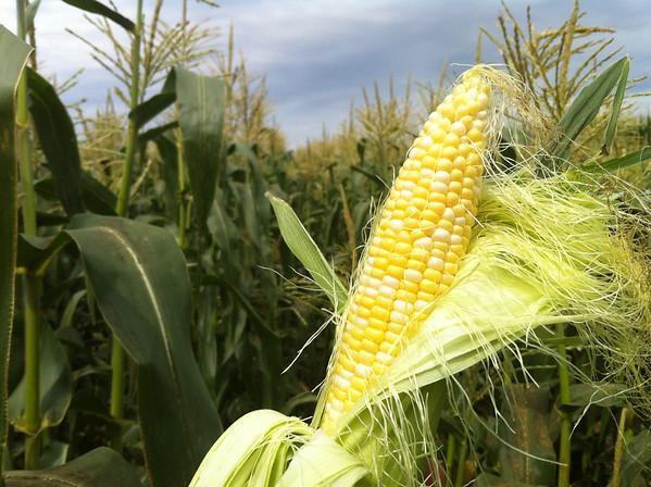 picking sweet corn