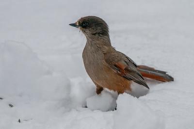 Törnskator Kråkfåglar Starar Sommargylling