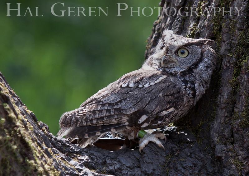 Screech Owl Hayward, California 1303S-SO4