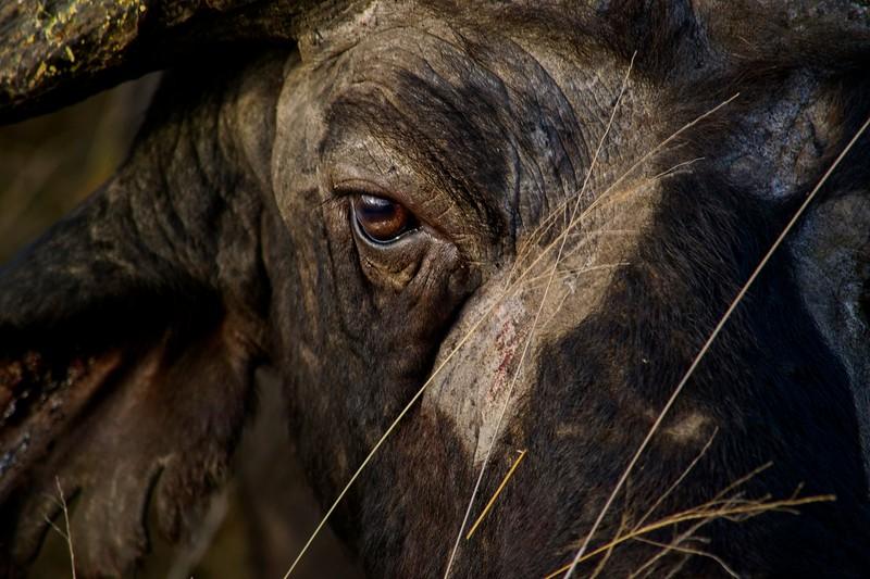 Cap Buffalo eye.jpg