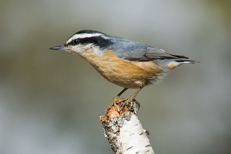 Nuthatch - Red-breasted - male - Dunning Lake, MN - 07