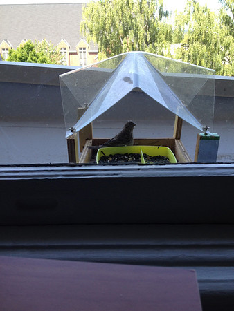 Juvenille house finch at office