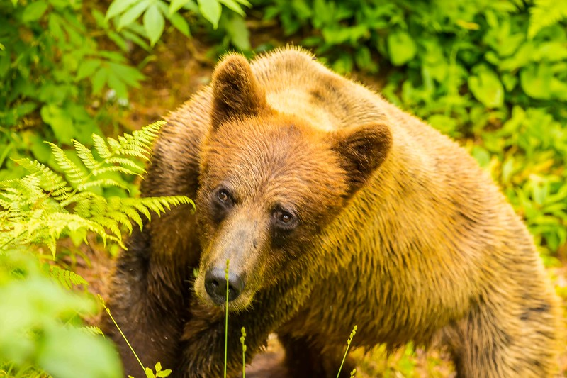Anan Brown Bear 3.jpg