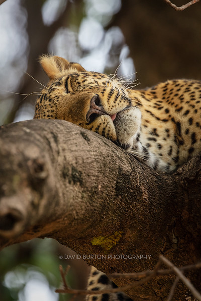 Mfuwe_leopard_8313cc2fx-web.jpg