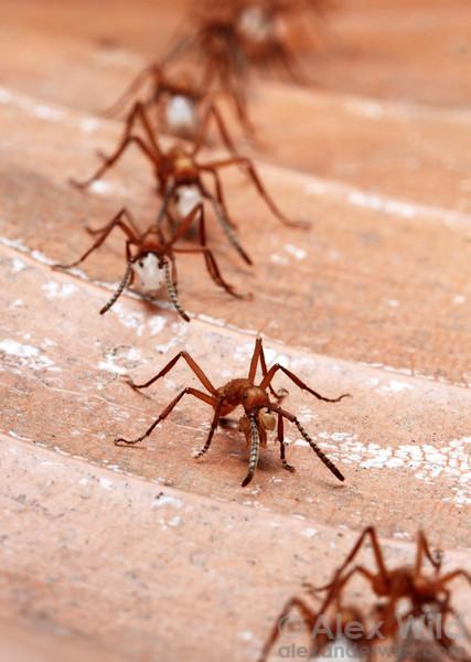 Eciton hamatum workers return from a successful raid bearing captured ant brood.  Jatun Sacha reserve, Napo, Ecuador