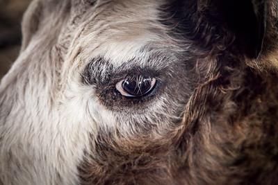 cow--IMG_7850-PRNTD