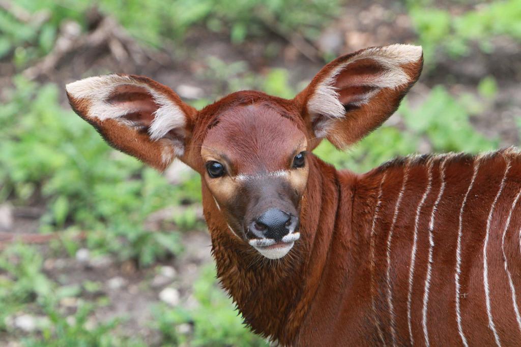 . Bongo antelope, 19 days old, at the Minnesota Zoo,  June 25, 2013. (AP Photo/Minnesota Zoo)