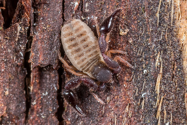 Pseudoscorpions (Pseudoscorpiones)