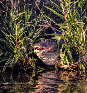 Monster 'Gator in the Bayou, Anahuac Refuge