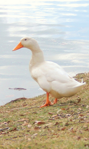A duck waits for his friends next to Lake Hollifield.