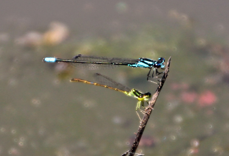 Blue and Green Dragonflies 1