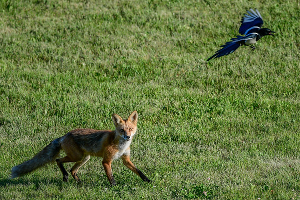 6-9-16 *^Red Fox & Magpie