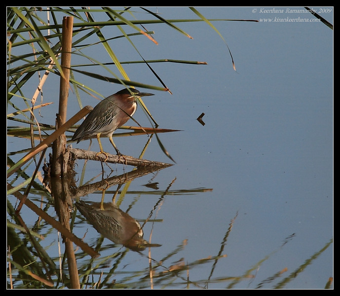 Record shot of Green Heron, Lindo Lake, San Diego County, California, January 2009