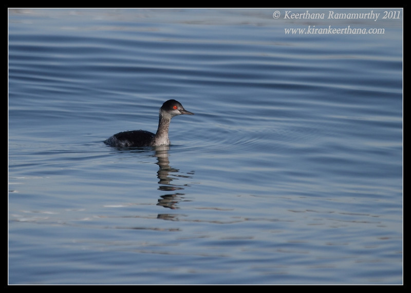 Eared Grebe, Coronado Ferry Landing, San Diego County, California, December 2011