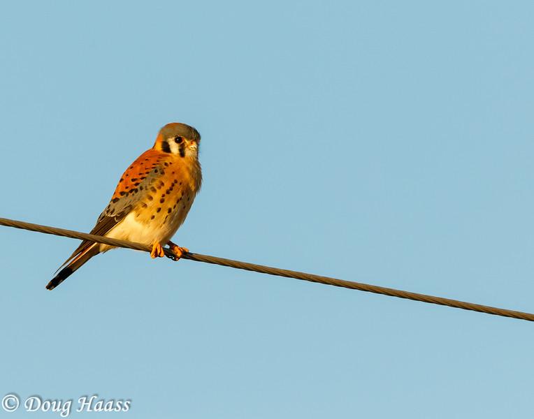 Male American Kestrel Falco sparverius