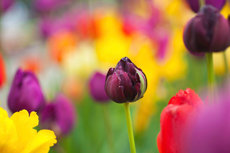 Tulips12-7107-Edit.jpg