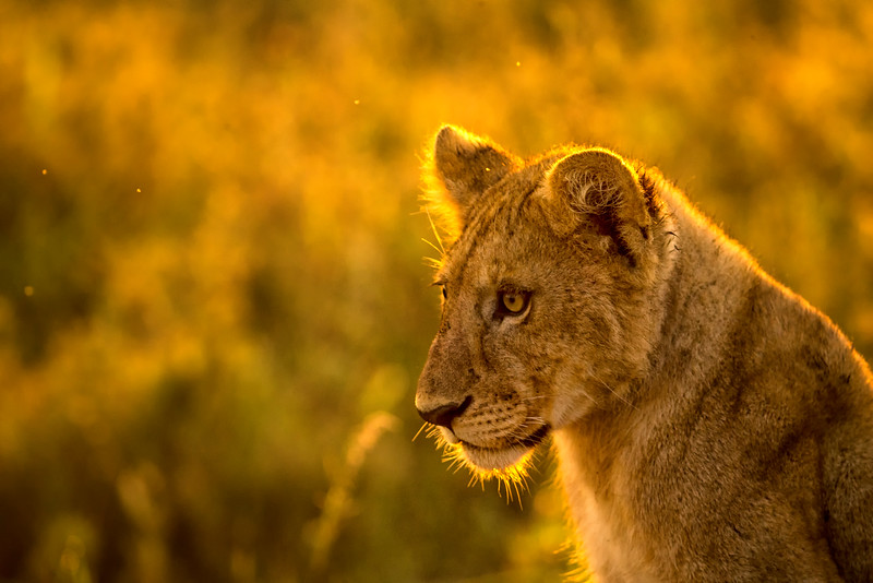 Cub at Dawn