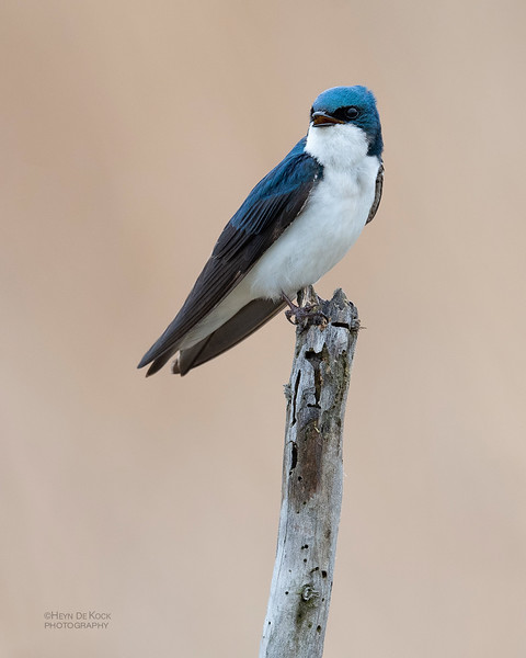 Tree Swallow, Burchard, NE, US, May 2018-4.jpg