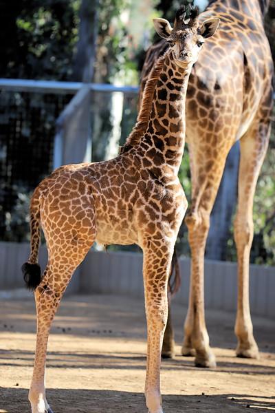 IMG_3453 Giraffe Sugarbutt 600MM 1.04.2018.jpg