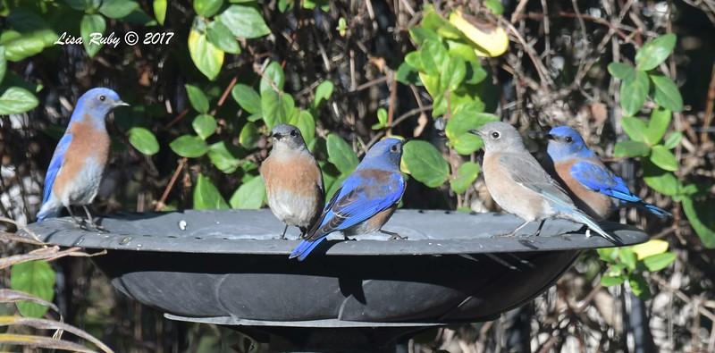 Western Bluebirds - 12/19/2017 - Yard