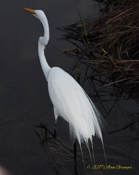 Egrets and Herons