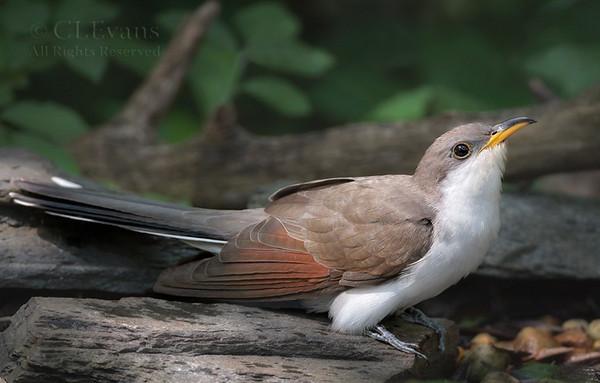 Miscellaneous Birds