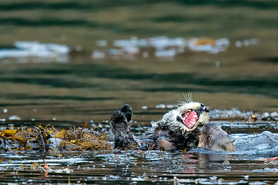 Otter Species