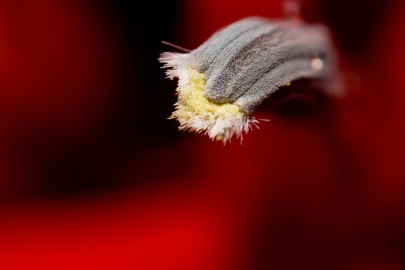 Close-up Cardenal Flower