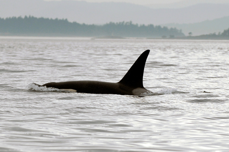 070902 8134B Canada - Victoria - watching killer whales from boat _F _E ~E ~L.jpg