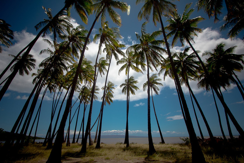 molokai palm trees 3.jpg