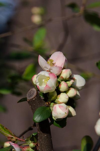 Cherry Blossom Tidal Basin Early Morning -49.jpg