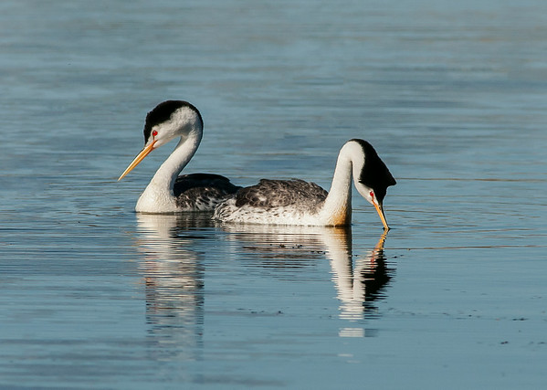 Grebes-Clear Lake, California