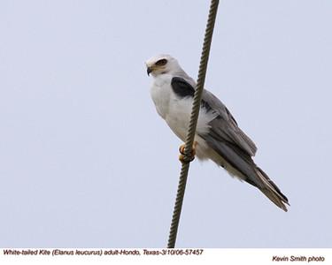 White-tailedKiteA57457.jpg