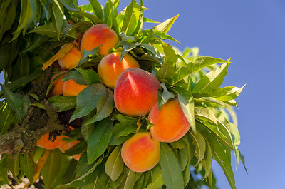 "Empress Peach - Natural Dwarf ""Patio"" Peach"
