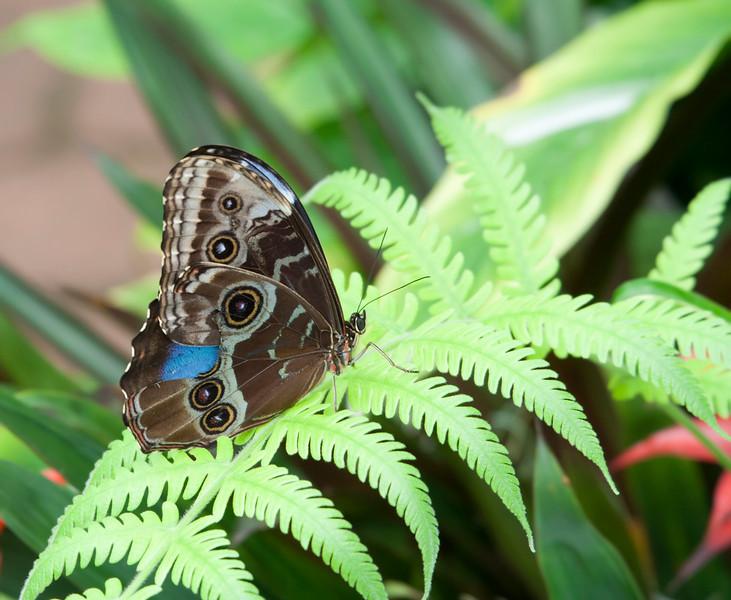 Blue Morpho Butterfly on Fern Leaf – Morpho peleides in a Butterfly House